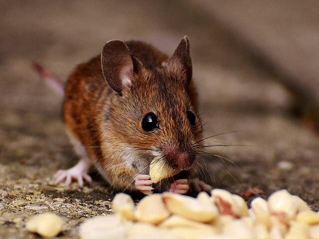 Как навсегда избавиться от мышей
